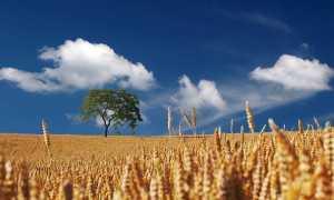 Campo agricoltura spighe grano