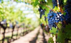 Uva vigna viti vino