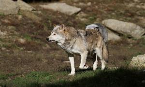 lupo lupi prato